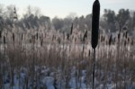 "Reed on the frozen lake ""Lappkärret""."